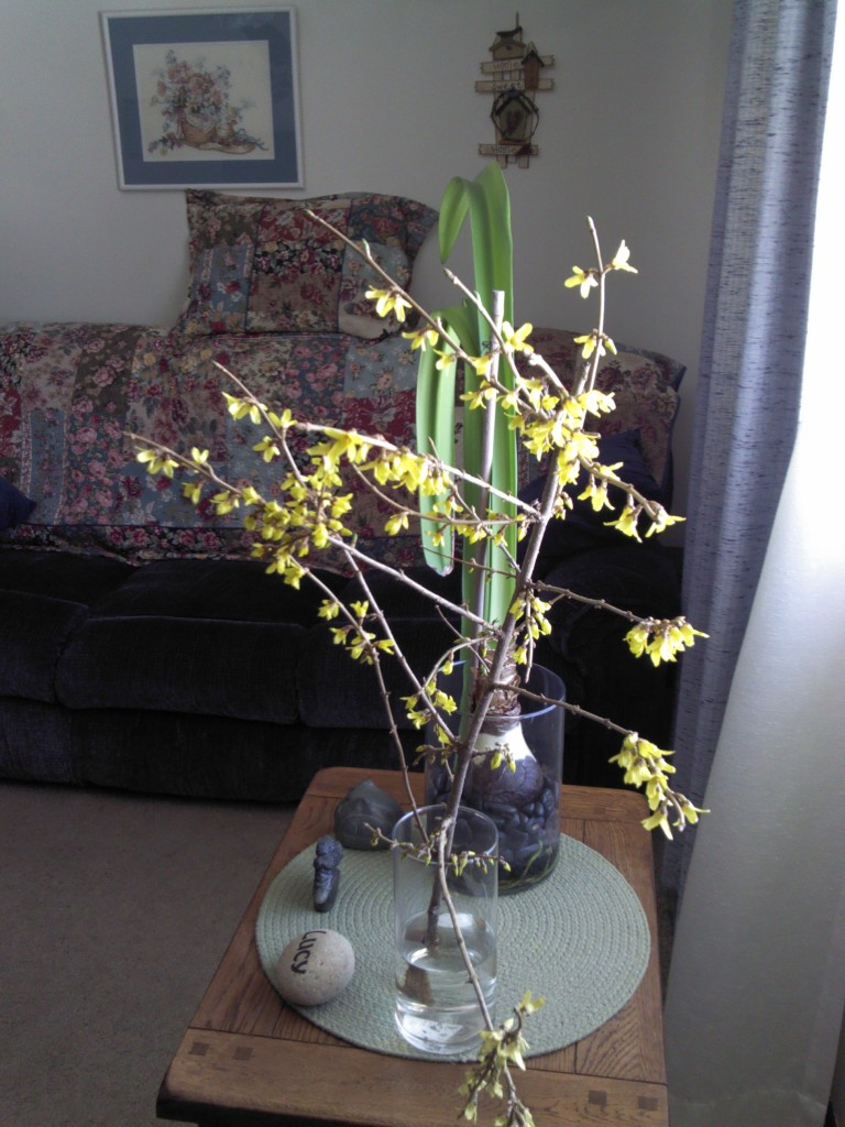 Forsythia cutting in full bloom